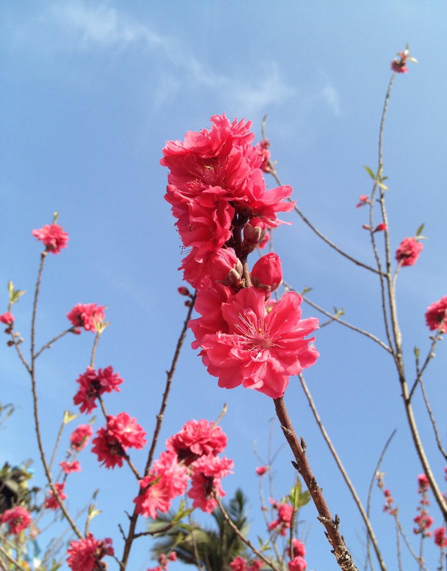三月,满山桃花开。